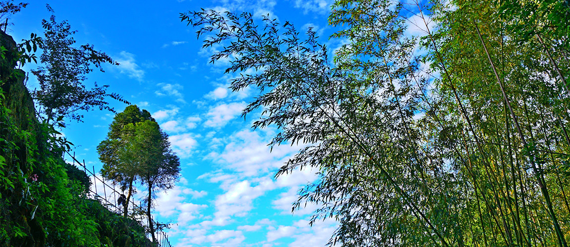 阿里山竹林